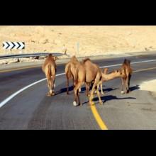 Camels on Road 1