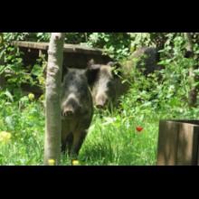 Two Boar