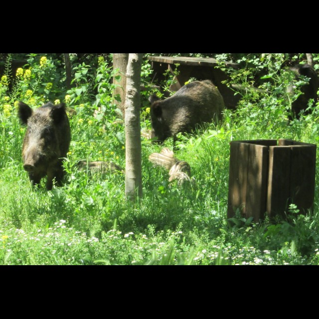 Boar with Young 2