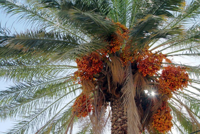 Dates and Palm Branches