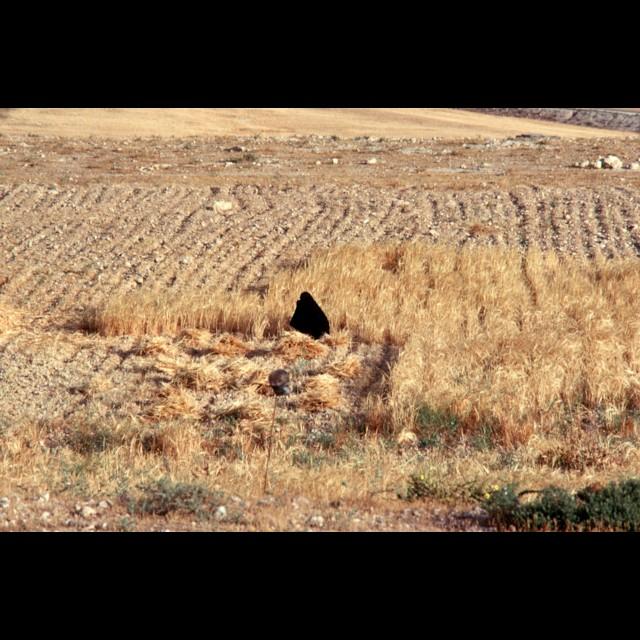 Wheat Harvest (1)