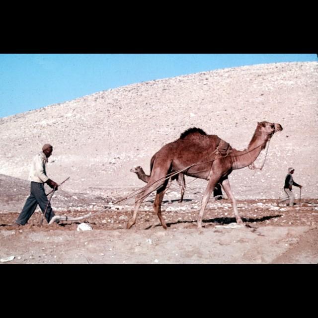 Camel Plowing