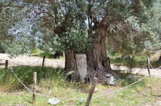 Olive Tree and Column