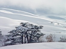 Cedar and Snow