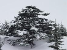 Cedar Tree 2
