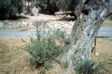 Olive Shoots 1