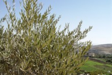 Fruitless Olive Tree