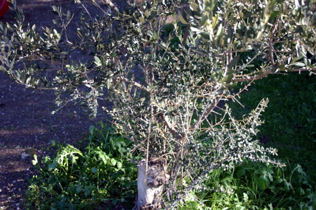 Olive Shoots 2