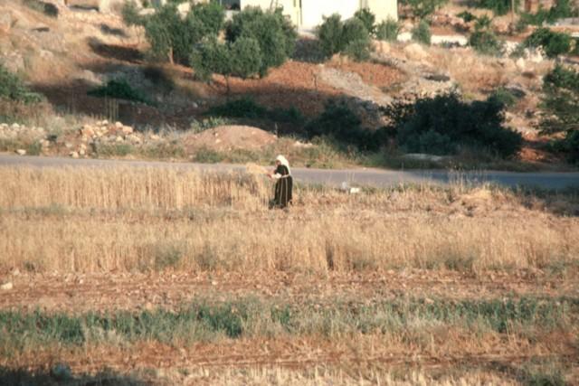 Wheat Harvest (2)